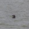 Ein neugieriger Seeehund beobachtet uns.
